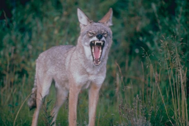coyote_growl.jpg