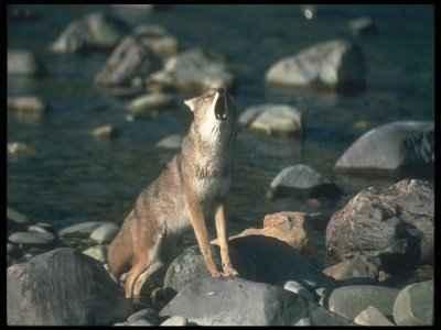 coyoterockhowl.jpg